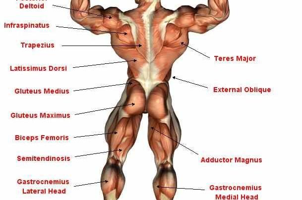 Back Muscle Anatomy