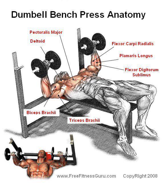 Dumbell Bench press Anatomy!