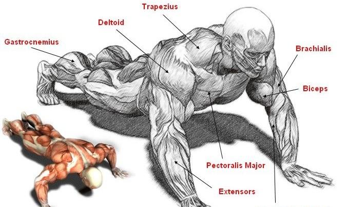 Press up Anatomy!