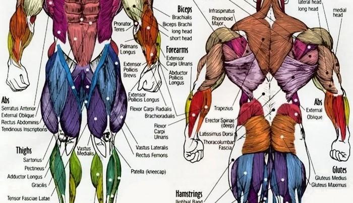 Muscles Anatomy Chart!