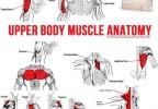 Upper Body Muscle Anatomy
